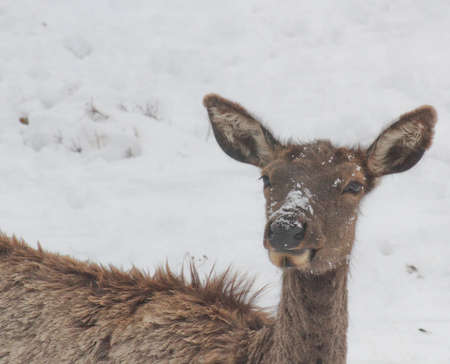 molting elk in snow face shot Standard-Bild