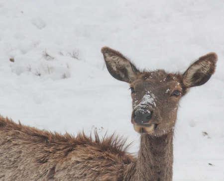 molting elk in snow face shot 版權商用圖片