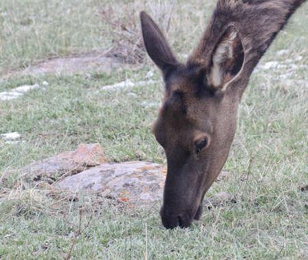Snowy nose elk face shot