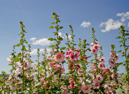 multicolored hollyhock flowers against a cloudy blue sky