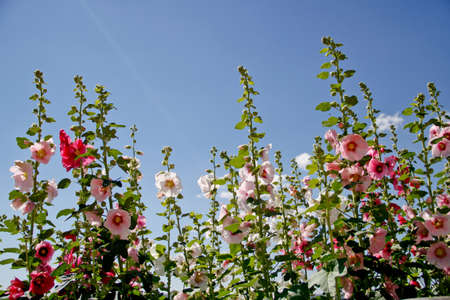 multicolored hollyhock flowers against a cloudless blue sky