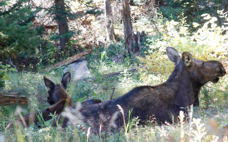 mother and young moose eating in shady, green hollow Stock Photo