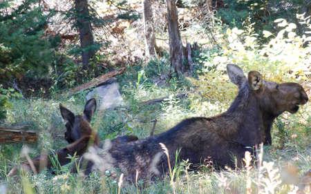 Mutter und Junge Elche essen in schattigen, grünen Mulde Standard-Bild - 32750168