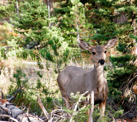 white tailed doe standing alertly in forest