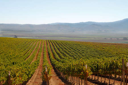 straight green rows of grape vines growing down into a valley