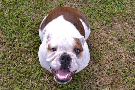 mans best friend: English Bulldog Stock Photo
