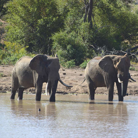 big 5: Elephant Stock Photo