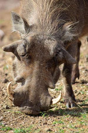burrows: Warthog