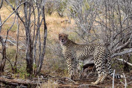 diurnal: Cheetah Stock Photo