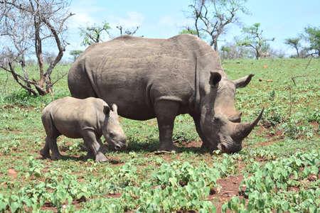 big 5: Rhinoceros