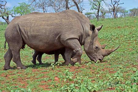Rinocerous