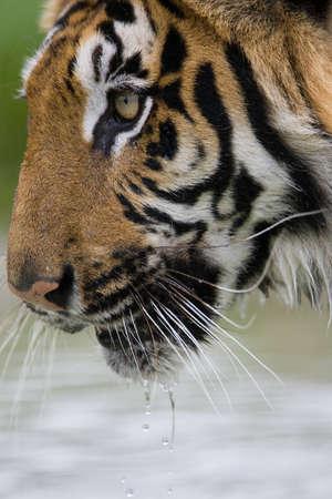 tiger drinking photo