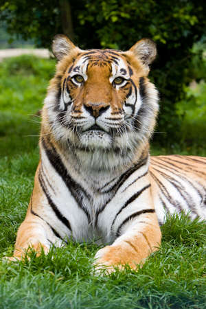 lounging: Tiger lounging under a tree Stock Photo