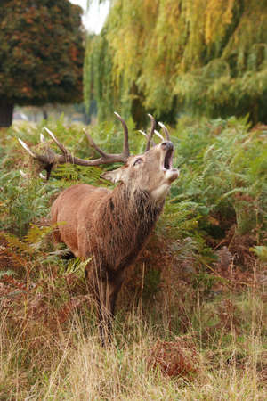 Majestic Stag braying wild Red Deer in fern and wooded parkland Stock Photo - 5745884
