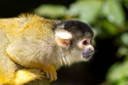 Bolivian squirrel monkey cute small and agile photo