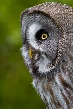 Great Grey Owl or Lapland Owl (Strix nebulosa) Stock Photo - 7000515