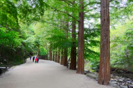 People walking the metasequoia road