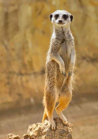Meerkat or Suricate standing on the wooden stump