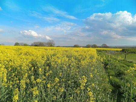 Rape Seed Field Cheshire UK