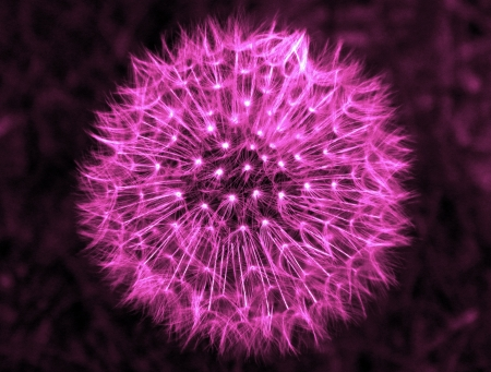 Violet Dandelion                  Stock Photo