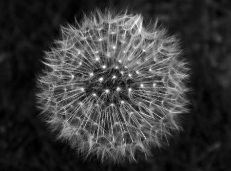 Dandelion Dream                                Stock Photo