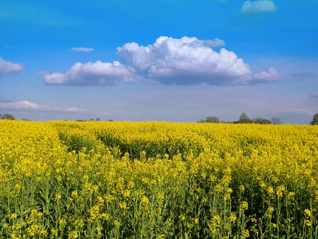 Cheshire Rapeseed Field Stock Photo