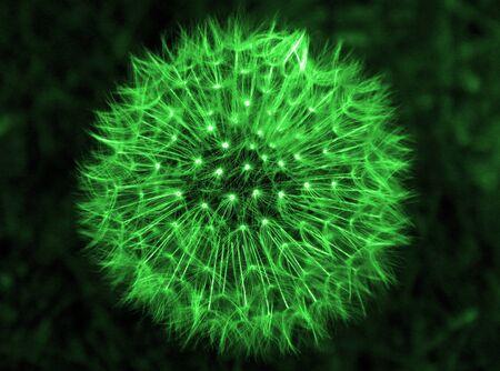 Green Dandelion Head