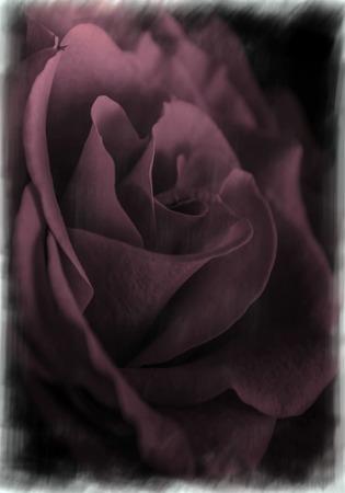 Powder Pink Rose Stock Photo