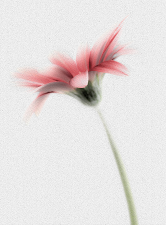 Delicately Painted High Key Gerbera Stock Photo