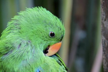 eclectus: Male Eclectus Parrot