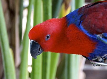 eclectus parrot: Female Eclectus Parrot