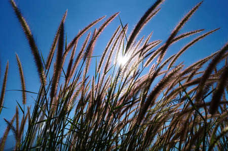nodding: Reed were nodding in the wind daylight from revealing. Stock Photo