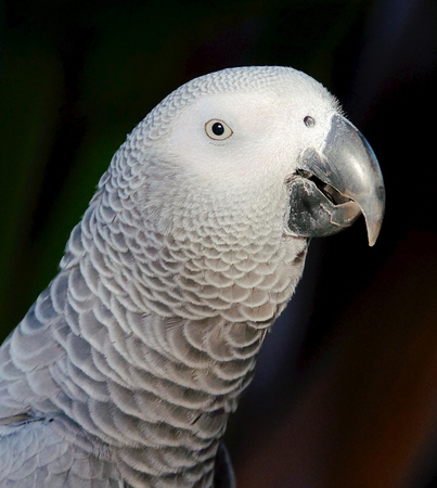 The African Grey Parrot  Psittacus erithacus , also known as the Grey Parrot photo