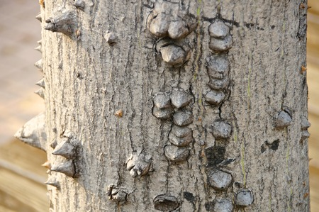 thorn tip: close view of floss silk tree