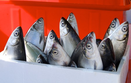 Fresh milkfish for sale in the market