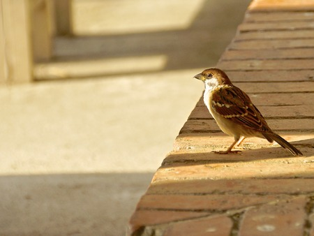 The house sparrow parked on the brick wall photo