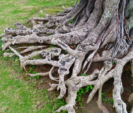historical sites: The old tree roots exposed on a historical sites