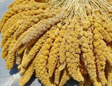 aborigines: The crops of millet for aborigines in Taiwan