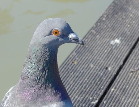 curios: Pigeon closeup in the park
