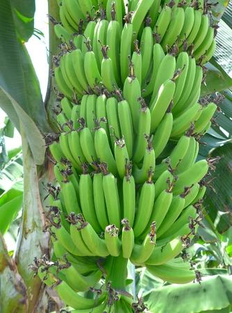 Green bananas hanging on tree closeup