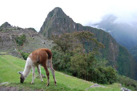 Llama grazing at Machu Pichu Stock Photo - 13624729