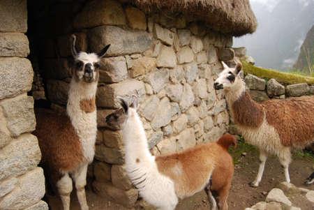 Tro llama at Machu Pichu Stock Photo - 13625154