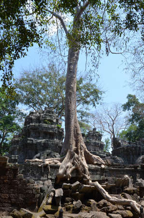 invading: Roots invading the temple of Ta Prohm Angkor Cambodia