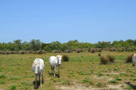 White horses of Camargue Provence France photo