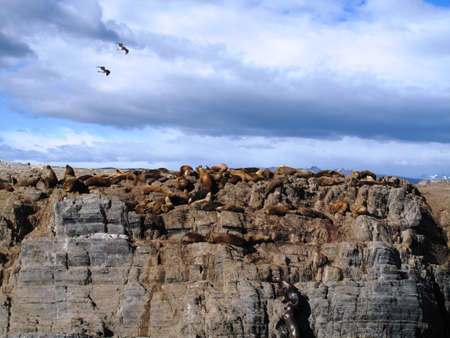 fuego: Sea Lion Tierra del Fuego