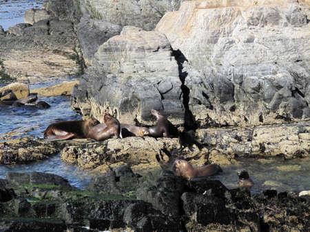 fuego: Sea lions on the coast of Tierra del Fuego