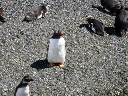 tierra: Penguins and their young in the Tierra del Fuego Stock Photo