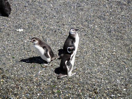fuego: Penguins in Tierra del Fuego
