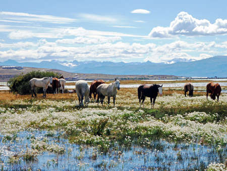 Horses in Chalten Argentina photo