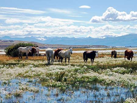 chalten: Horses in Chalten Argentina